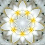08-Dia-Tempelblume