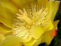 Kakteenblüte 1