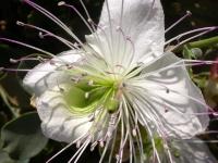 Kapernblüte
