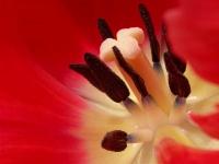 Tulpe 2